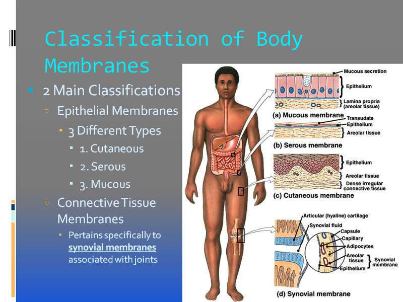 lab a p classification of body membranes
